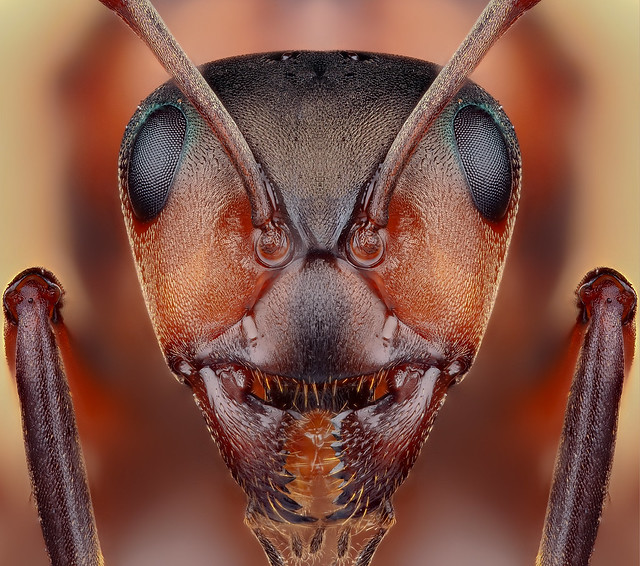 Mrówka rudnica (Formica rufa)