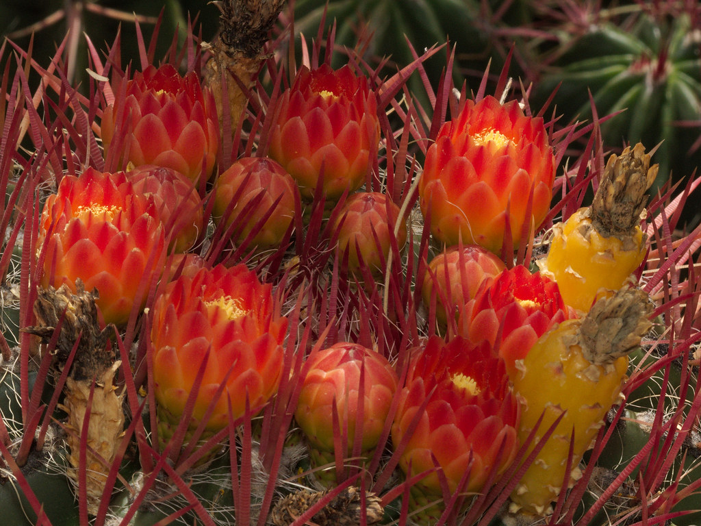 Mexican fire barrel blooms in the Cactus & Succulent Garden at Tucson Botanical Gardens