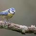 Mésange bleue (Cyanistes caeruleus)-8