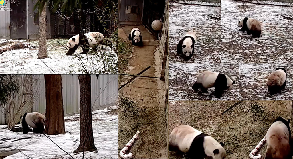 Snow On First Day Of Spring Makes Me >> Tian Tian I Think They Mixed Up April Fools Day With The Flickr