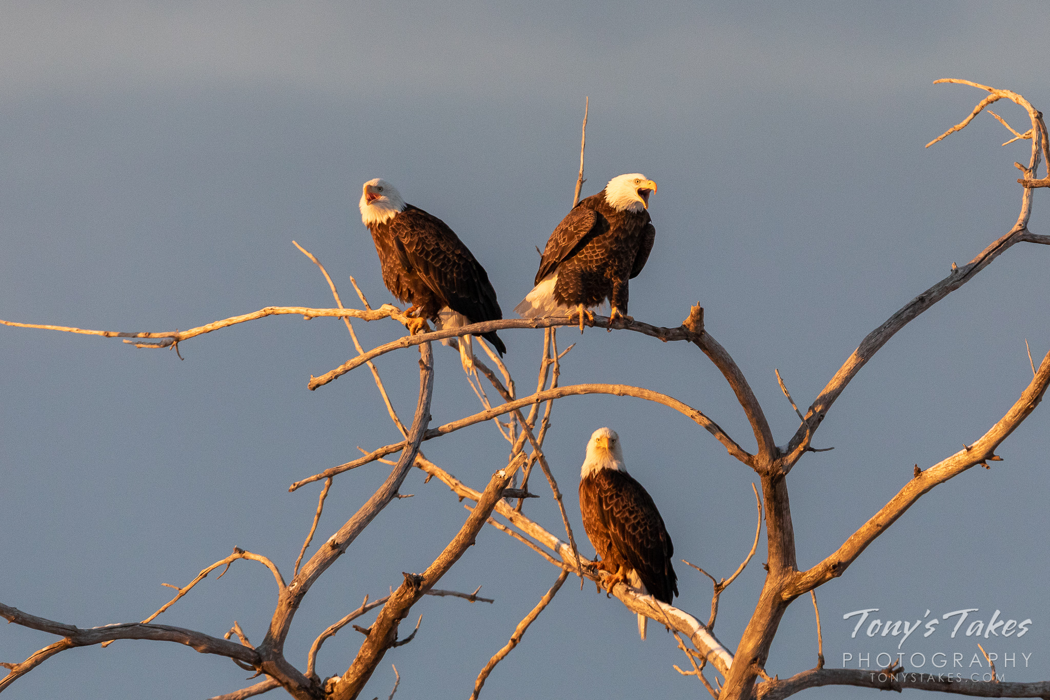 A bald eagle joins two others in Adams County, Colorado at dawn. (© Tony's Takes)
