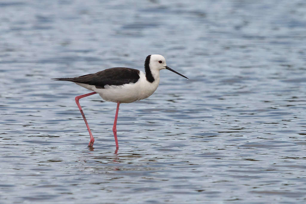 Black-winged Stilt 1