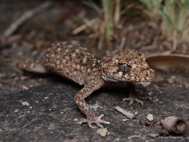Granite-belt Thick Tailed Gecko (Uvidicolis sphyrurus). New England region, NSW
