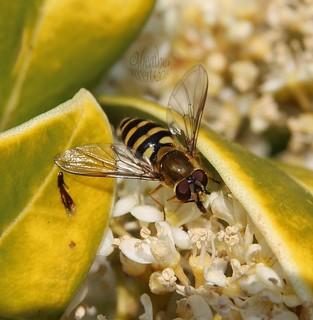 Hoverfly . . . . .    Eupeodes latifasciatus