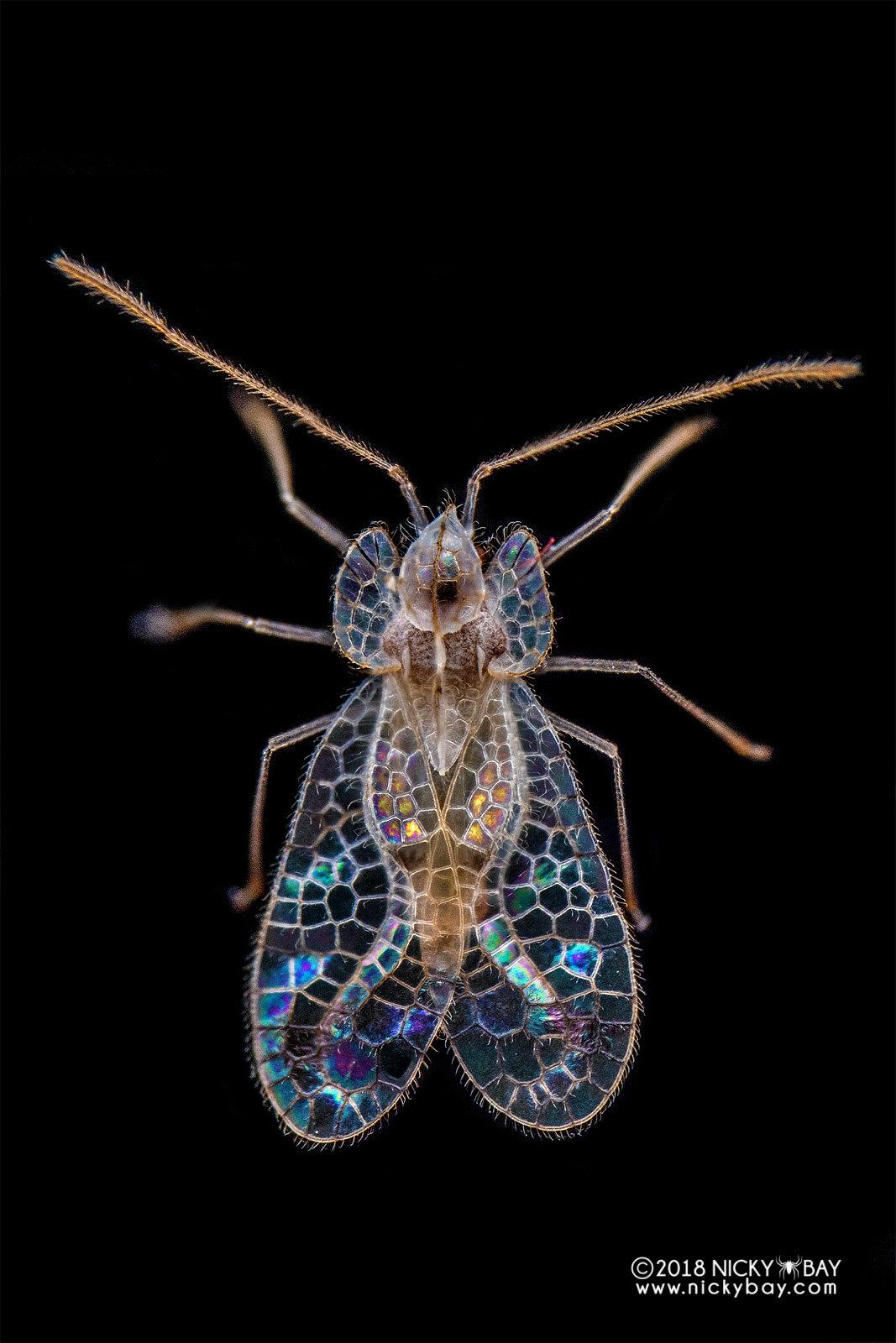Lace bug (Stephanitis typicus) - DSC_3959