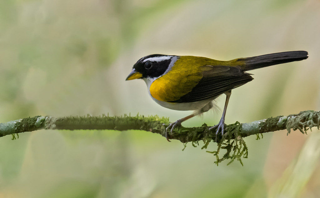 Arremon taciturnus - Pectoral Sparrow - Cerquero Pectoral - Pinzón Pectoral 05