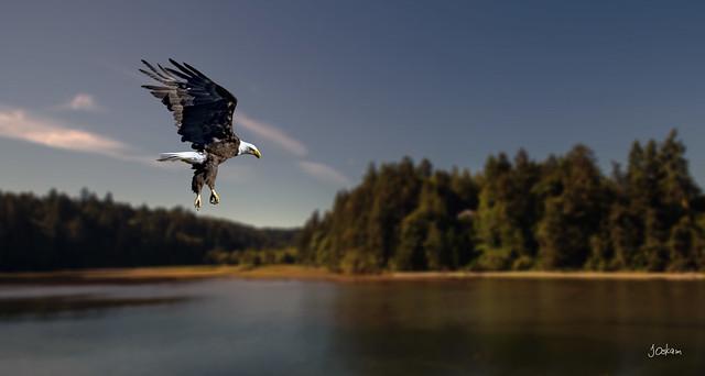 American Bald Eagle (1)
