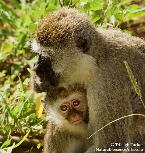 Mama and baby baboon | by Trileigh