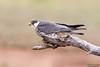 Amur Falcon, Falco amurensis by Kevin B Agar
