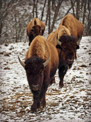 bison winter lvz trexlernaturepreserve