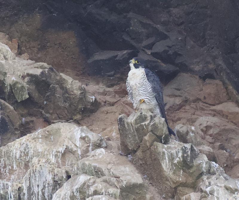 Peregrine Falcon, Falco peregrinus ssp. cassini Ascanio_Amazon Cruise (Lima area) 199A7433
