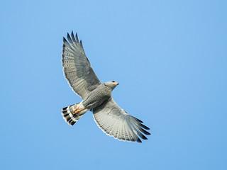 Gray Hawk | by nickathanas