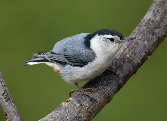 My Little Nuthatch