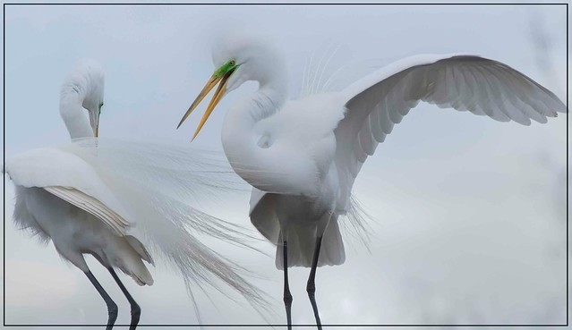 New Romances ... Great Egrets Courtship