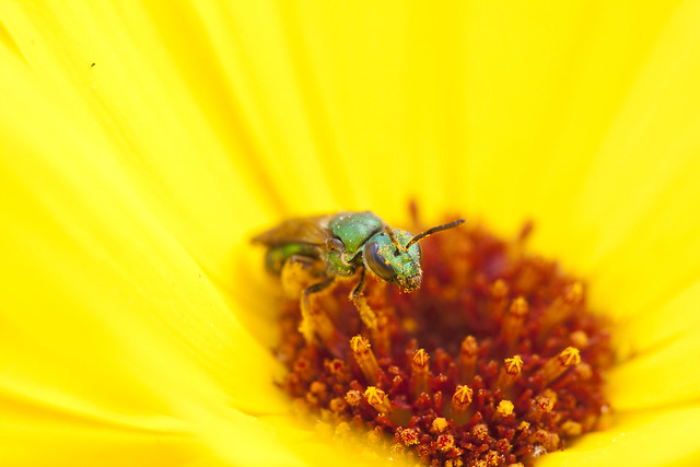 Sweat Bee on Calendula