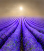 Lavender Fields at Sunrise by adrians_art