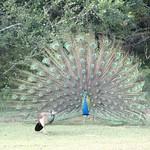 Courting Peacock, Kumana National Park
