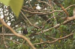 Brown babblers Shai Hills Resource Reserve in Ghana