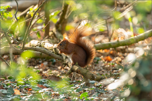rode eekhoorn   by Evelakes67