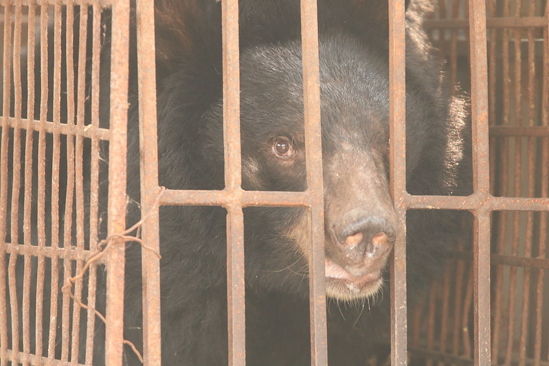 Amy in cage before being rescued, Phung Thuong April 2019
