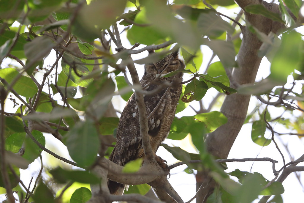 Greyish Eagle-Owl  Bubo cinerascens