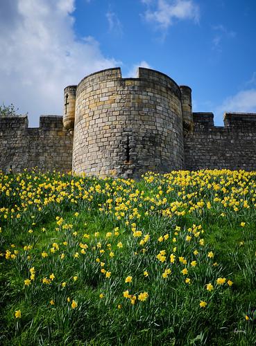 fujifilmx100f york daffodils plants flora fleur flowers yellow colors flickrelite walls castles historic capture1pro