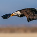 Eagle in a Shallow Dive by lennycarl08