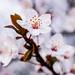 Cherry blossoms (Cerasus jamasakura)  : 桜花(ヤマザクラ)