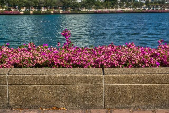 Bougainvillea blossoms by the lake in Benjakiti Park, Bangkok, Thailand