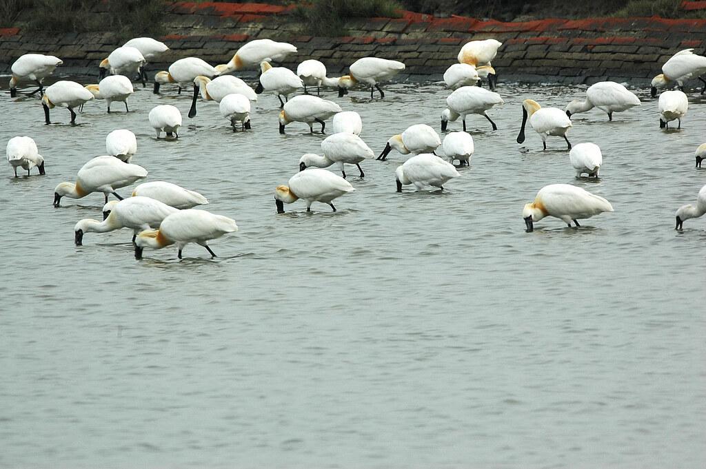 濕地生態經營是維繫黑琵族群的關鍵。圖片來源:中華鳥會提供