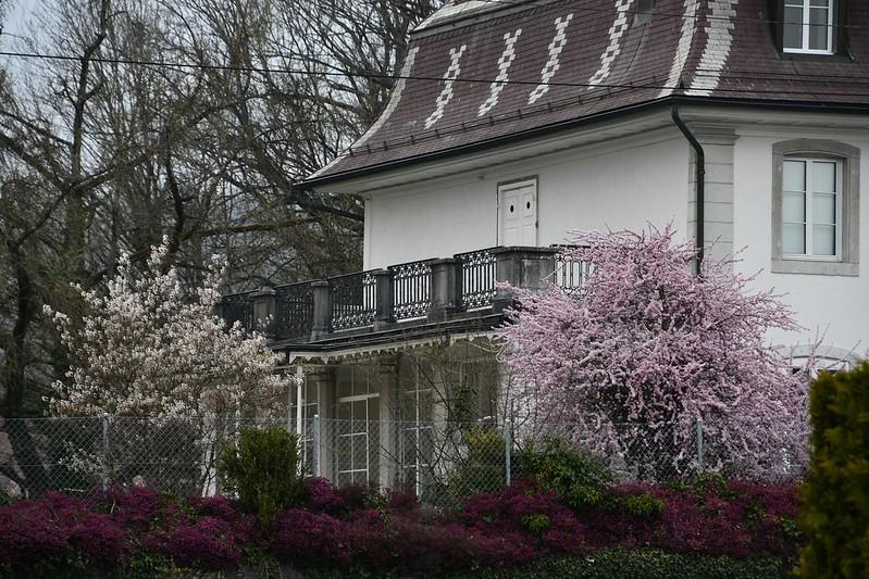 Flowering Trees Baselstrasse 11.04.2019