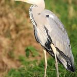 Grey heron , Ardea cinerea (10)