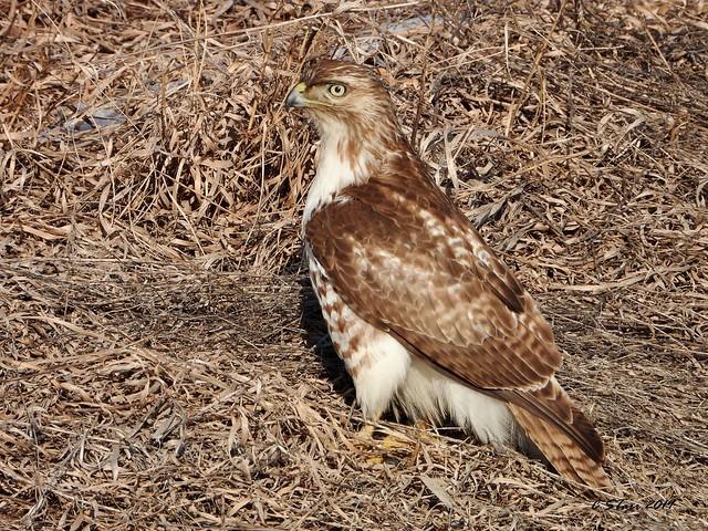 DSCN1916 redtail hawk