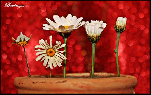 Etapas de una flor