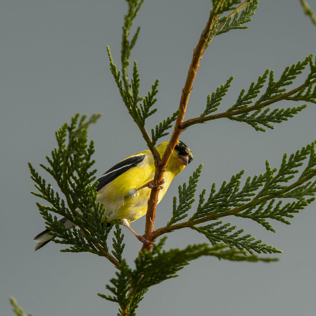 Male Goldfinch, Breeding Color