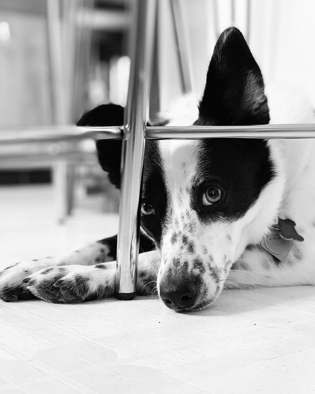 #bordercollie #bordercolliemix #puppydogeyes #glbcr #greatlakesbordercollierescue