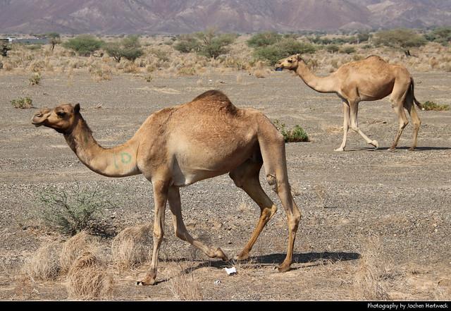 Dromedaries, Near Ibra, Oman