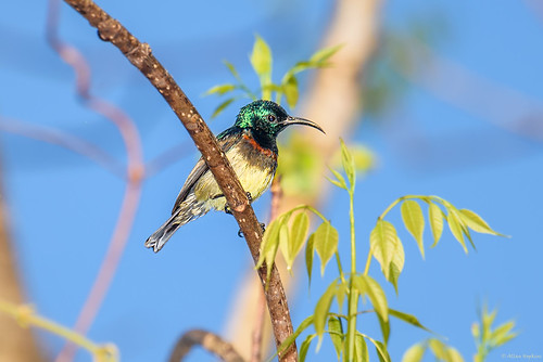 Souimanga Sunbird (Cinnyris sovimanga), male | by Allan Hopkins