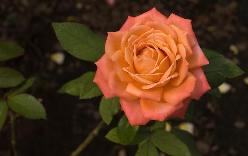 Обои оранжевый, роза, лепестки картинки на рабочий стол, раздел цветы - скачать