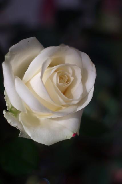 White Rose      Foca Oplarex 50mm f1.9
