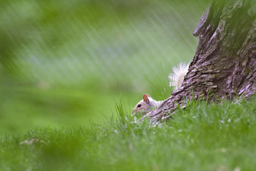 white squirrel in cover | by G_Anderson