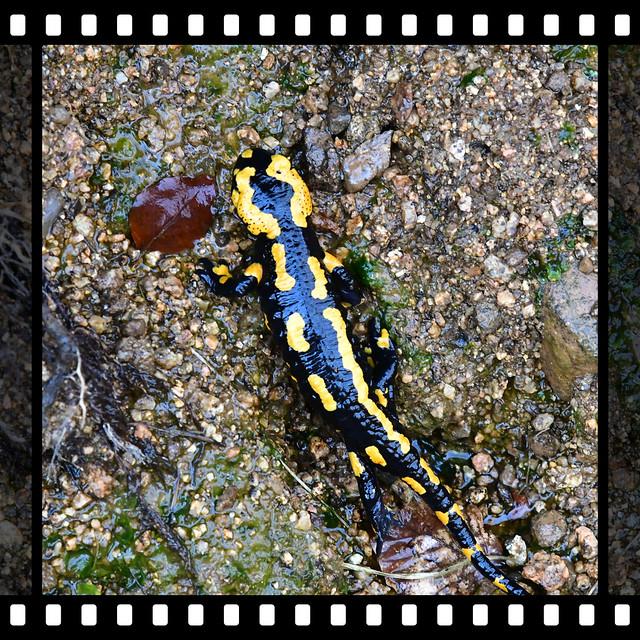 Feuersalamander im Wassergraben // Fire salamander in the moat