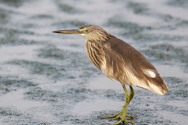 Thailand: Chinese Pond-Heron