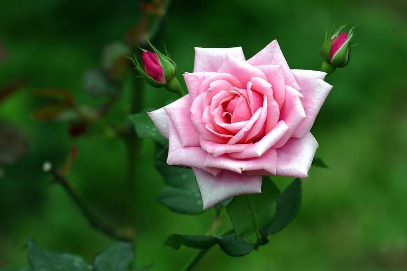 Обои розовый, роза, лепестки картинки на рабочий стол, раздел цветы - скачать