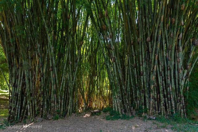 Arborétum de bambú cerca Cienfuegos. Arborétum de bambú cerca Cienfuegos.