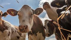 cows dutch