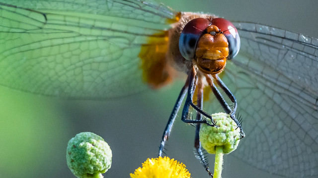 Head-on Unknown Dragonfly, Paulette, Haiti
