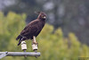 Long-crested Eagle, Lophaetus occipitalis by Kevin B Agar