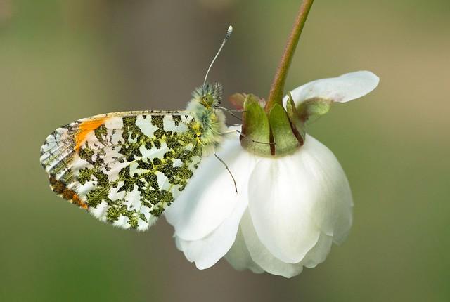 Orange-Tip Butterfly (anthocharis cardamines)