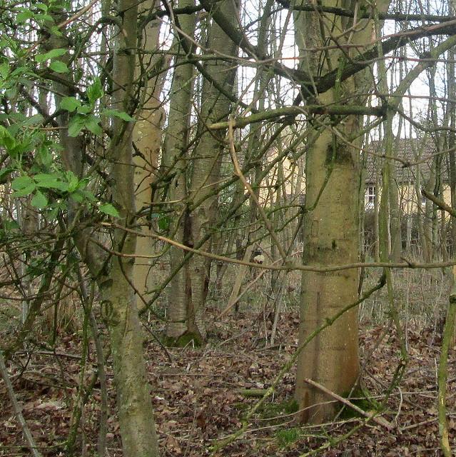 Balbirnie Walk 3 Deer closer